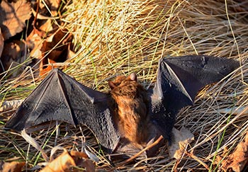 a big brown bat, common in Virginia
